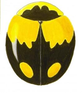 Schwarz's Lady Beetle, Brachiacantha schwarzi