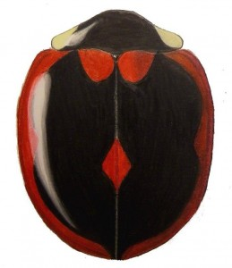 Margined Lady Beetle (1), Exochomus marginipennis