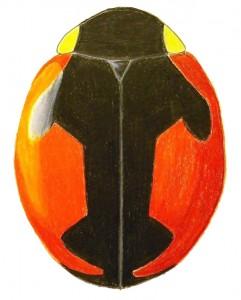 Bolter's Lady Beetle, Hyperaspis bolteri