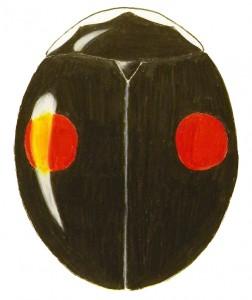 Signate Lady Beetle, Hyperaspis signata