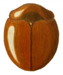 Catalina Lady Beetle, Delphastus catalinae