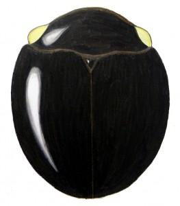 Whitefly Predator, Delphastus pusillus